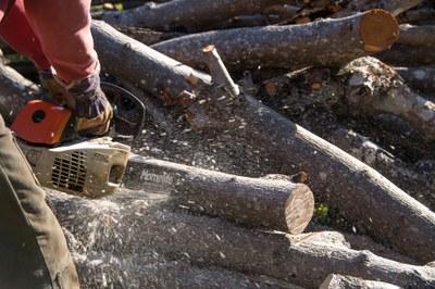Dilluns 14 de gener s'inicia la poda de plataners a la Riera de Sant Pere